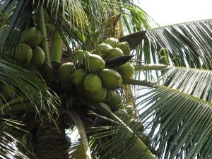 Mladé zelené kokosy na palmě