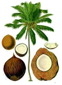 Kokosovník ořechoplodý (Cocos nucifera)