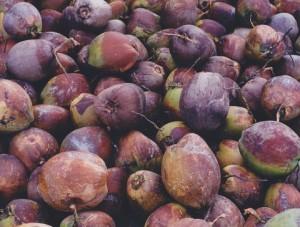 Celé kokosy. Zdroj: Wikimedia Commons