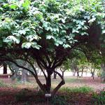 800px-Annona_cherimola,_tree
