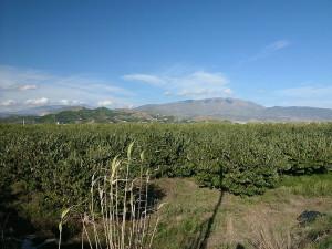 Plantáž Annony cherimoya v Andalusii. Zdroj: Wikimedia Commons